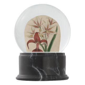 赤と白のアマリリスの花 スノーグローブ