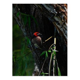 赤によって襟首をつかまれるbarbetの鳥のネスティング ポストカード