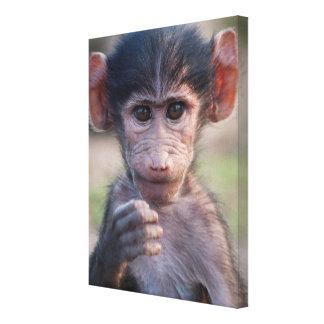 赤ん坊のChacmaヒヒ(南アフリカ) キャンバスプリント