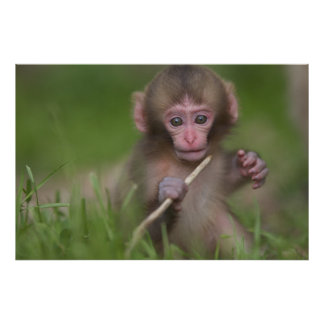 赤ん坊猿は小枝によって遊んでいます ポスター