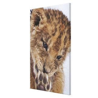 足、クローズアップを舐めているライオンの子(ヒョウ属レオ) キャンバスプリント