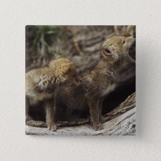遠ぼえしている組の若いコヨーテの子犬 5.1CM 正方形バッジ