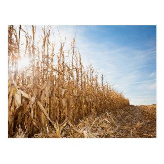 部分的に収穫されたトウモロコシ畑 ポストカード