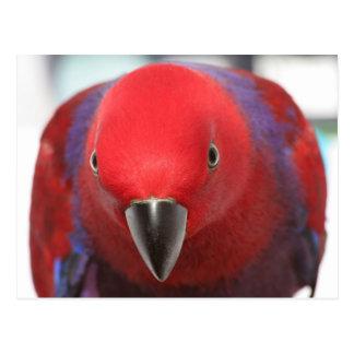郵便はがきのEclectusのオウムの赤いメスペット ポストカード