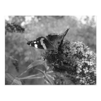 郵便はがき- Butterfly黒い及び白の海軍大将 はがき