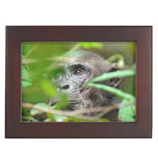 野生にチンパンジー(鍋のTroglodytes)の見ること ジュエリーボックス