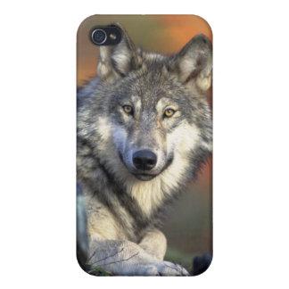 野生のオオカミ iPhone 4/4Sケース