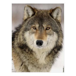 野生の大きく美しいオオカミ ポストカード