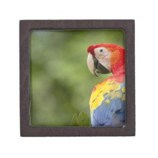 野生の深紅のコンゴウインコ、雨林、コスタリカ ギフトボックス