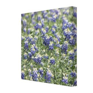 野生の花分野のBluebonnets: 広いズームレンズの眺め キャンバスプリント