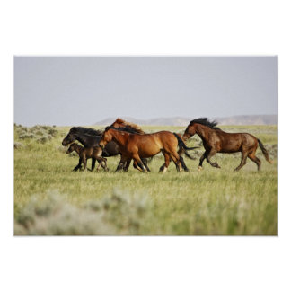 野生の野生の馬のEquusのcaballusの)群れ ポスター