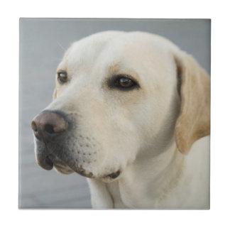 金ラブラドル・レトリーバー犬の写真 タイル