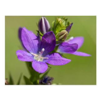 金星の姿見の紫色の野生の花の郵便はがき ポストカード