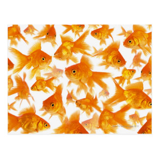 金魚の大きいグループを示す背景 ポストカード