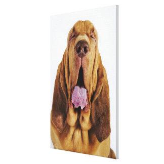 閉鎖した目を持つブラッドハウンド(St.ヒューバートの猟犬)、 キャンバスプリント