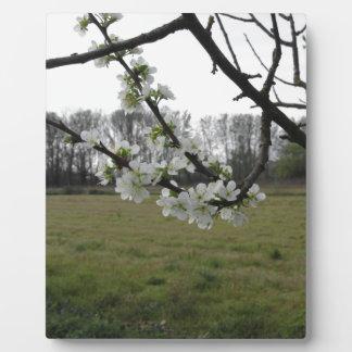 開くプラム。 春の花盛りの白い木 フォトプラーク
