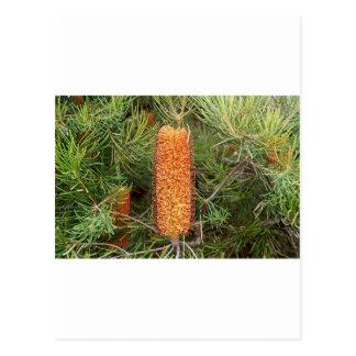 開花のオーストラリアのバンクシアの花 ポストカード