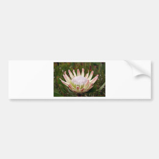 開花のクリーム色のプロテアの花 バンパーステッカー
