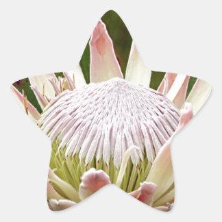 開花のクリーム色のプロテアの花 星シール