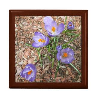 開花のクロッカスの花 ギフトボックス
