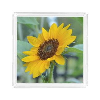 開花のヒマワリ アクリルトレー