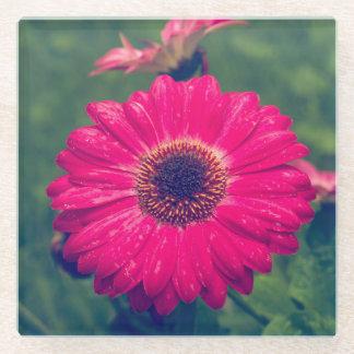 開花のピンクのガーベラのデイジー ガラスコースター