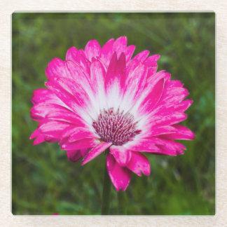 開花のピンク及び白いガーベラのデイジー ガラスコースター