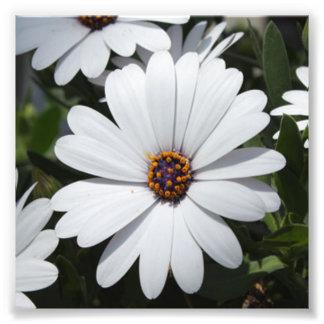 開花の白いデイジー フォトプリント