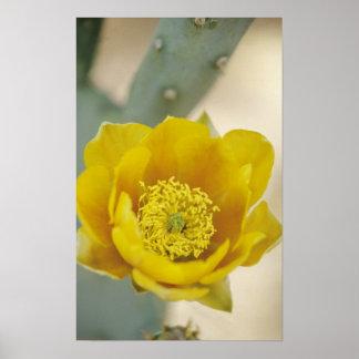 開花、アリゾナソノラのウチワサボテンサボテン ポスター