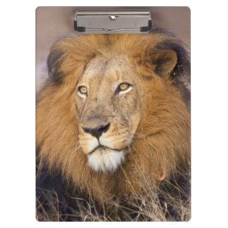間隔調査しているライオンのポートレート クリップボード