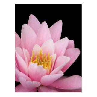 隔離されたピンクの《植物》スイレン、任意背景 ポストカード