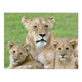 雌ジシおよび2カブス、東アフリカ、タンザニア、 ポストカード