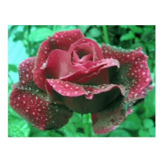 雨滴で覆われるオレゴンのバラ ポストカード