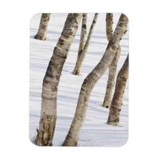 雪が多い景色のアメリカシラカンバの木 マグネット