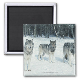 雪が多い森林の端のオオカミパック マグネット