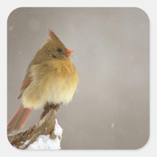 雪で覆われたのメスの北の(鳥)ショウジョウコウカンチョウ スクエアシール