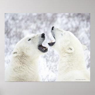 雪で遊んでいる白くま ポスター