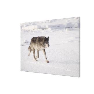 雪のオオカミのランニング キャンバスプリント