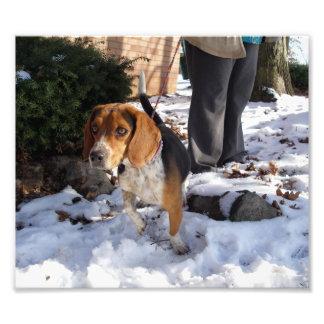 雪の持ち上がる足のビーグル犬外で フォトプリント