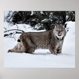 雪の空腹なカナダのオオヤマネコ プリント