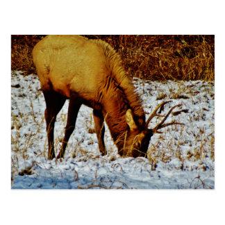雪のBullのオオシカ ポストカード