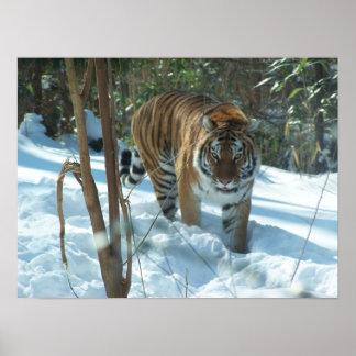 雪ポスターのシベリアトラの歩く ポスター
