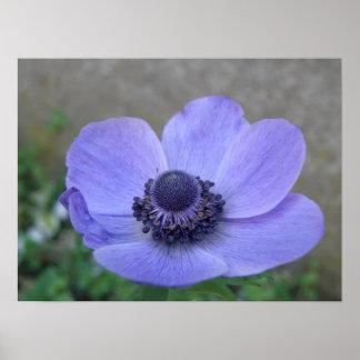 青いアネモネのマクロプリント ポスター