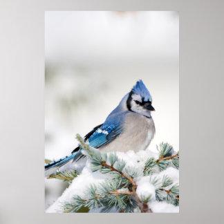 青い地図書ヒマラヤスギのアオカケス ポスター