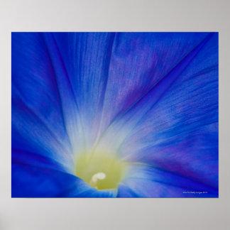 青い朝顔の花 ポスター