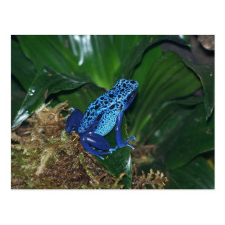 青い毒矢のカエルのポートレート ポストカード