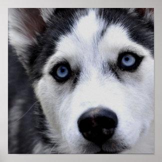 青い目のハスキーなポスター ポスター