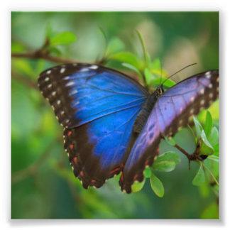 青い蝶 フォトプリント
