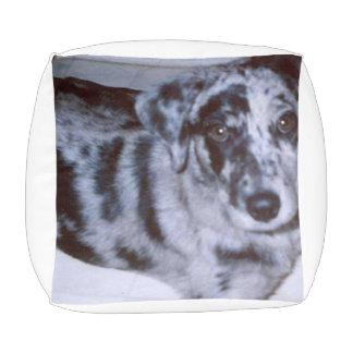 青いmerleの子犬- Catahoula.png プーフ