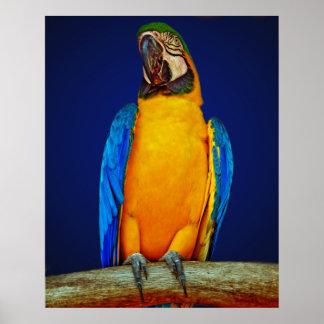 青および金ゴールドのコンゴウインコ ポスター